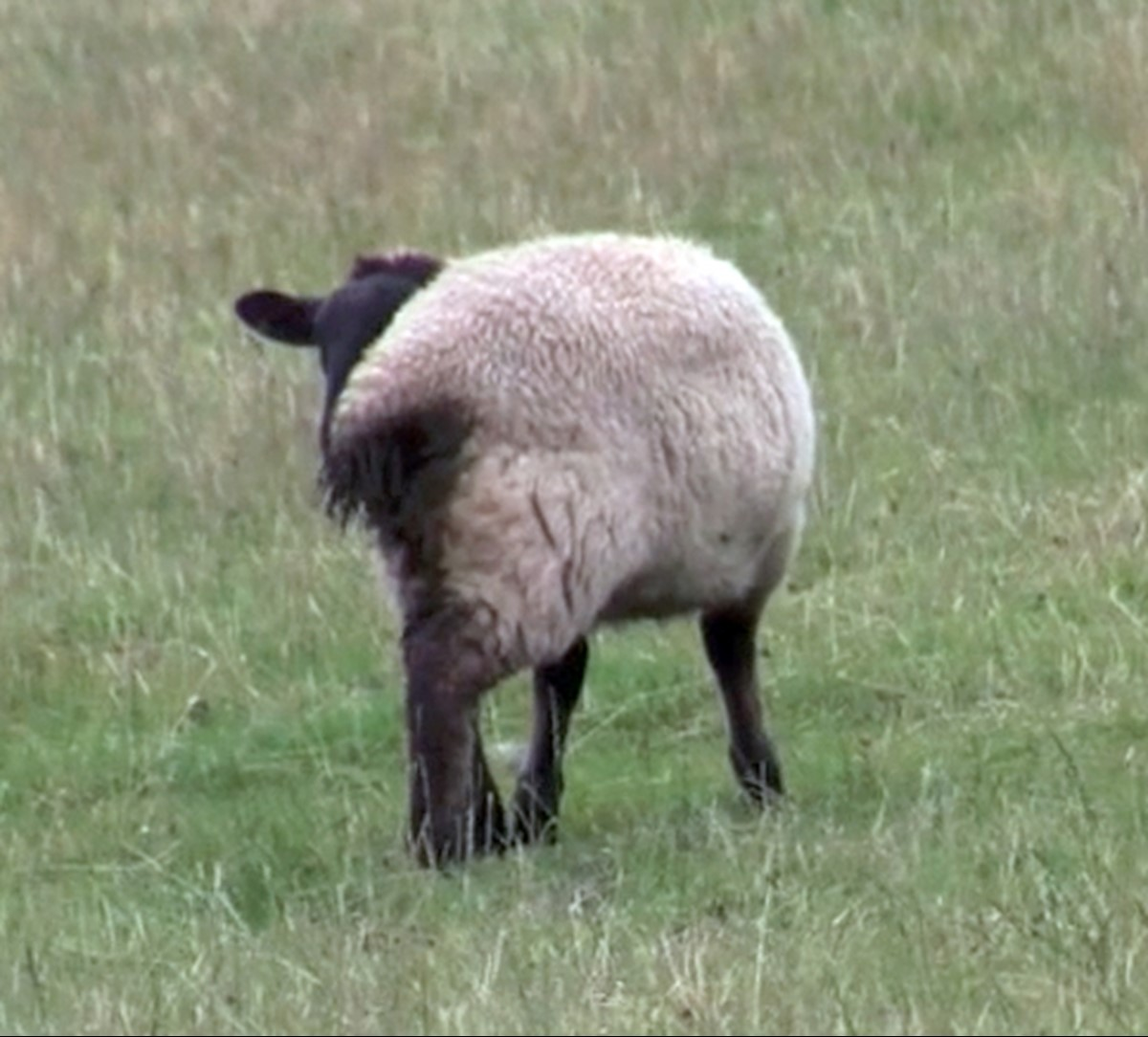 Disrupted grazing occurs when sheep are affected by blowfly strike, this in turn leads to weight loss/decreased weight gain