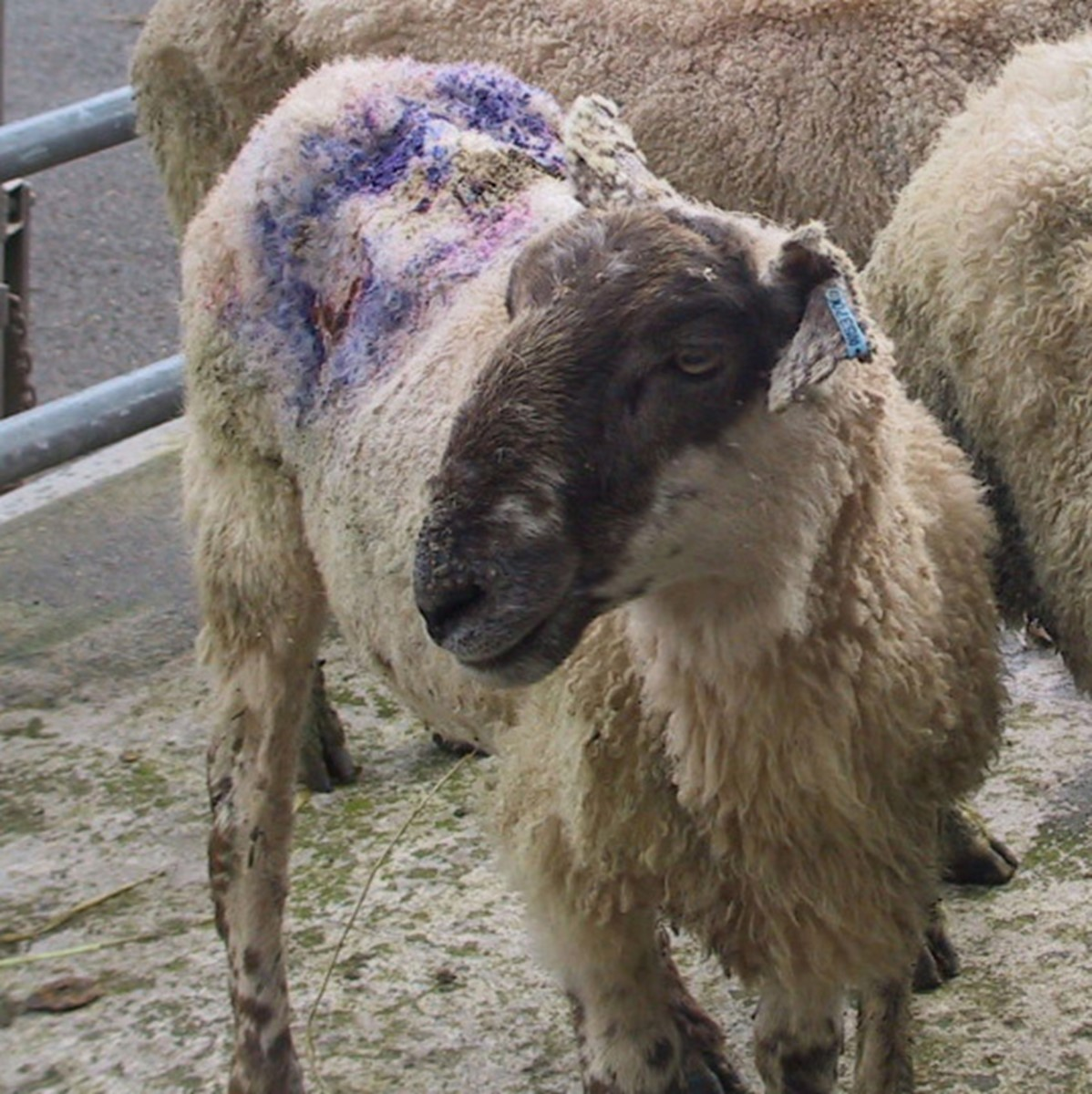 The damage caused by blowfly strike can be extensive. Even with effective treatment, it takes time for wounds to heal, fleece to grow back and condition to be restored.