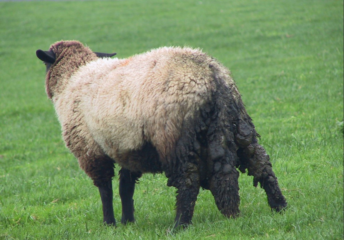 Long fleeces and tails, as well as dirty back-ends (probably due to worms) all increase the risk of blowfly strike